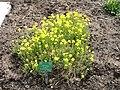 Erysimum ochroleucum - Copenhagen Botanical Garden - DSC07665.JPG