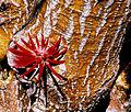 Erythrina coralloides. (9548782397).jpg