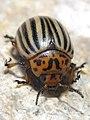 Escaravello da pataca, Bastavales, Brión, Galiza 090707 07.JPG