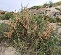 Escobilla - Salsola genistoides.jpg