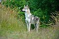 Eska der Tschechoslowakische Wolfhund am beobachten.jpg