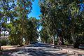 EucalyptusTreesWestFull.jpg