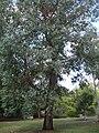 Eucalyptus chapmaniana.jpg
