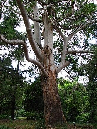 Eucalyptus saligna - Eucalyptus saligna with rough lower trunk bark