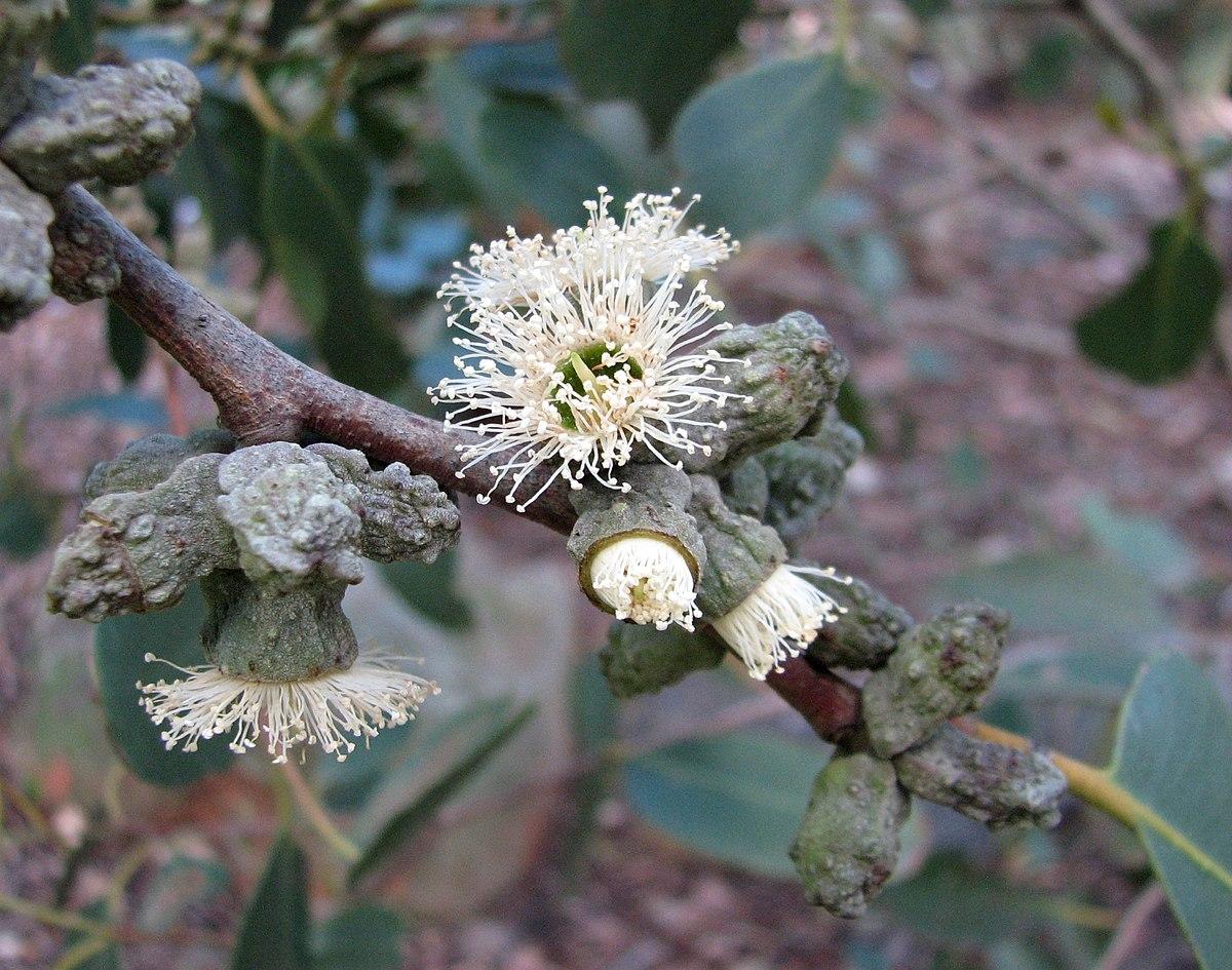 Eucalyptus Verrucata Wikipedia
