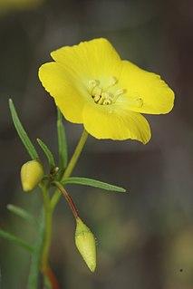<i>Eulobus californicus</i> species of plant