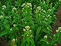 Eupatorium perfoliatum 0001.JPG