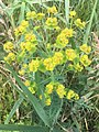 Euphorbia agraria 79246642.jpg
