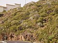Euphorbia canariensis (Puntallana) 01.jpg