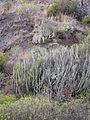 Euphorbia canariensis by Scott Zona 001.jpg