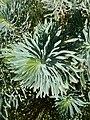 Euphorbia characias, École Du Breuil.jpg