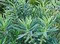 Euphorbia characias parc floral.JPG
