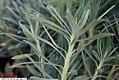 Euphorbia characias wulfenii 1zz.jpg
