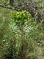 Euphorbia nicaeensis (8745375226).jpg