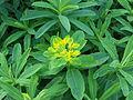 Euphorbia polychroma 2 by Mikani.JPG