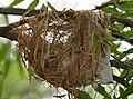 Eurasian Golden Oriole (Oriolus oriolus) nest W IMG 9568.jpg
