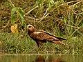 Eurasian Marsh Harrier Circus aeruginosus by Dr. Raju Kasambe DSCN2872 (31).jpg