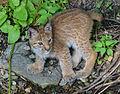 Eurasian lynx3 (14825047389).jpg