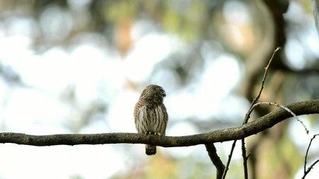 File:Eurasian pygmy owl (Glaucidium passerinum) calling.webm
