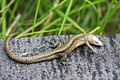 European Common Lizard (Zootoca vivipara) (8619734592).jpg