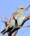 European roller, Coracias garrulus at Borakalalo National Park, Northwest Province, South Africa (15581849904).jpg
