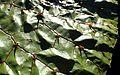 Euryale ferox kz2.jpg