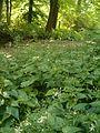 Eurybia divaricata Aster divaricatus BotGardBln07122011A.JPG