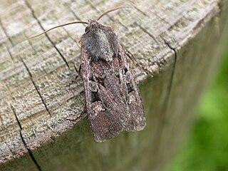 <i>Euxoa obelisca</i> species of insect