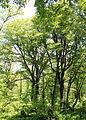 Fagus crenata in Mount Mominuka.jpg