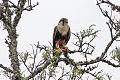 Falco femoralis, Las Lajitas, Salta, Argentina.jpg