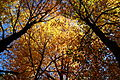 Fall-tree-tops - West Virginia - ForestWander.jpg