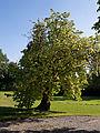 Feeringbury Manor garden tree, Feering Essex England.jpg
