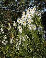 Feeringbury Manor white Michaelmas daisy, Feering Essex England.jpg