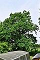 Feldbach-Gniebing - Naturdenkmal 518 - Stieleiche (Quercus robur) - II.jpg