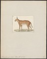 Felis caracal - 1700-1880 - Print - Iconographia Zoologica - Special Collections University of Amsterdam - UBA01 IZ22100354.tif