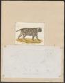 Felis spec. - 1700-1880 - Print - Iconographia Zoologica - Special Collections University of Amsterdam - UBA01 IZ22100382.tif