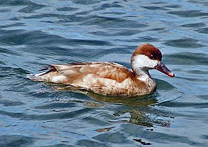 Female Red-crested Pochard 800.jpg