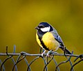 Fenced tit (25039519084).jpg