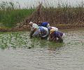 Festa de la Plantada de l'arròs al Delta de l'Ebre.jpg