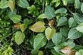 Ficus arnottiana 1904.jpg