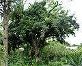 Ficus craterostoma, Manie van der Schijff BT.jpg