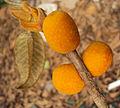 Ficus drupacea 13.JPG