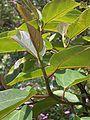 Ficus mauritiana leaves.JPG