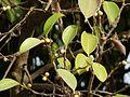 Ficus microcarpa (3296994471).jpg