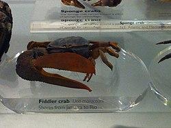 Fiddler crab (Uca maracoani) - NHM London.jpg