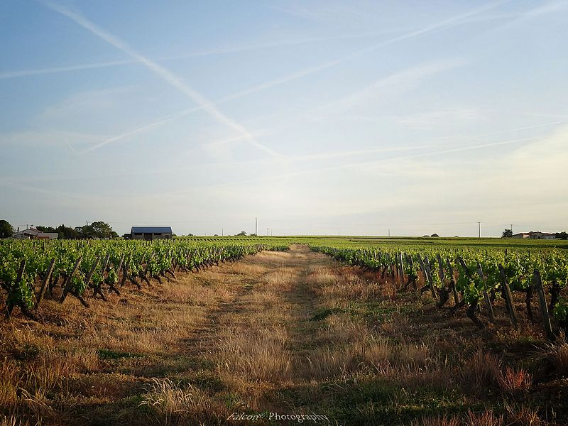 Vines near Nantes. en.wikipedia.org/wiki/Muscadet