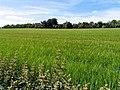 Fields of Barley near Compton - geograph.org.uk - 20791.jpg