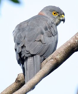 Fiji goshawk Species of bird