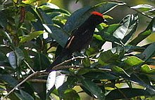 Flame-crested tanager1.jpg