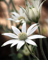 Flannel flower (4098226980).jpg